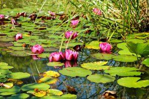 Pond:Lagoon